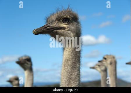 Strauß (Struthio Camelus), Porträt, Oudtshoorn, Südafrika, Western Cape