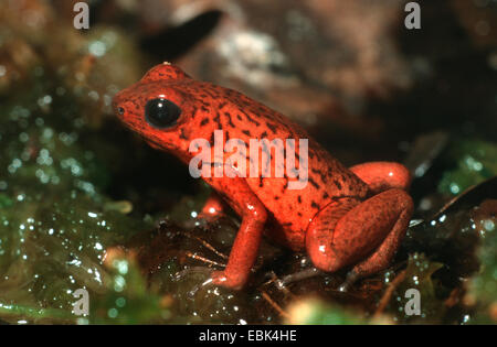 Strawberry Poison-Titelkarte Frosch, rot und blau Poison-Pfeil Frosch, flammenden Poison Arrow Frog, Blue Jeans - Stockfoto