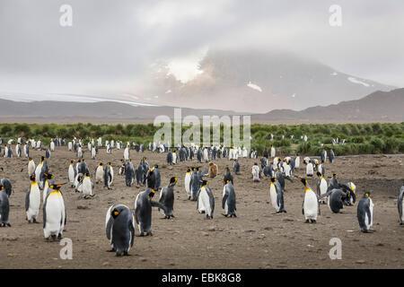 König (Aptenodytes Patagonicus), Pinguin Kolonie am Strand vor Panoramablick auf die Insel, Suedgeorgien, Salisbury - Stockfoto