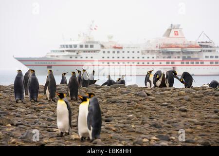 König (Aptenodytes Patagonicus), Pinguin Kolonie am Strand vor Verankerung Kreuzfahrt Schiff, Suedgeorgien, Salisbury - Stockfoto