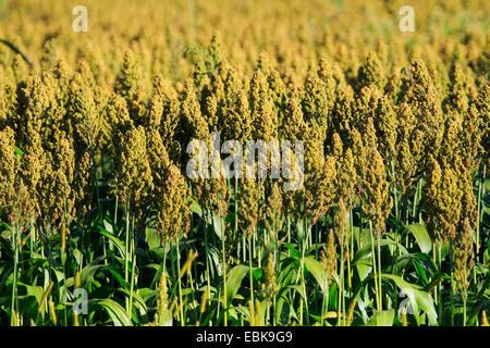 Besen-Mais, Broomcorn (Sorghum bicolor), Feld für Biomasse-Produktion, Deutschland, Baden-Württemberg - Stockfoto
