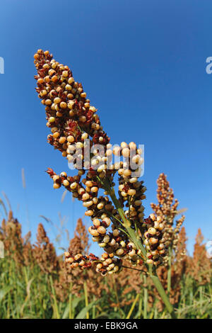 Besen-Mais, Broomcorn (Sorghum bicolor), single Saatgut Kopf, Deutschland, Baden-Württemberg - Stockfoto