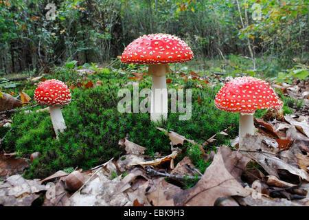 amanita muscaria drei rote giftige pilze in den herbstlichen wald unedible pilz geringe. Black Bedroom Furniture Sets. Home Design Ideas