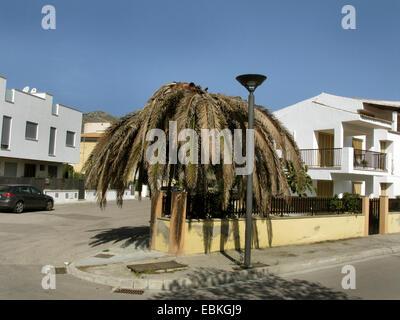 Palmrüssler, asiatische Palmenrüssler, Sagopalme Rüsselkäfer (Rhynchophorus Ferrugineus), Kanarischen Insel Datumpalme - Stockfoto