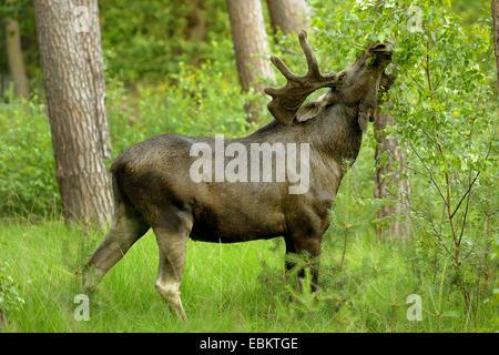 Elch, Europäischen Elch (Alces Alces Alces), Stier Elch Essen Blätter aus einem Zweig, Deutschland - Stockfoto