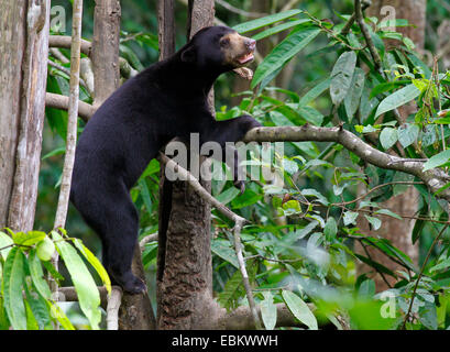 Sun Bear - Helarctos Euryspilus - im Bornean Sun Bear Conservation Centre in Sepilok, Sabah, Malaysia - Stockfoto