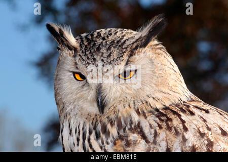 Westlichen sibirischen Uhu (Bubo Bubo Sibiricus) Close Up - Stockfoto