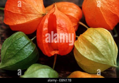 Chinesische Laterne, japanische Laterne, Winterkirsche, Strawberry Tomate (Physalis Alkekengi var Franchetii, Physalis - Stockfoto