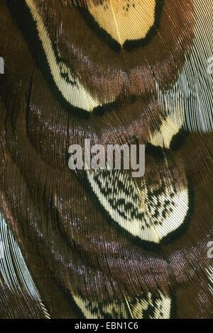 gemeinsamen Fasan, Kaukasus Fasane, kaukasische Fasan (Phasianus Colchicus), Federn auf dem Flügel, Deutschland - Stockfoto