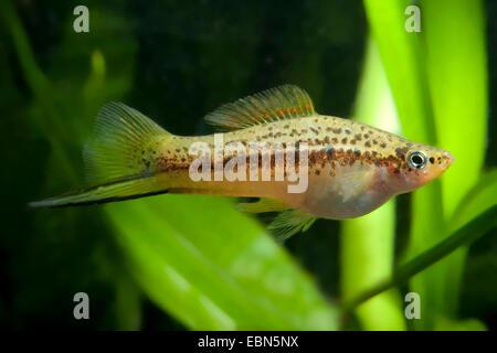 grüner Schwertträger (Xiphophorus Helleri), Schwimmen - Stockfoto