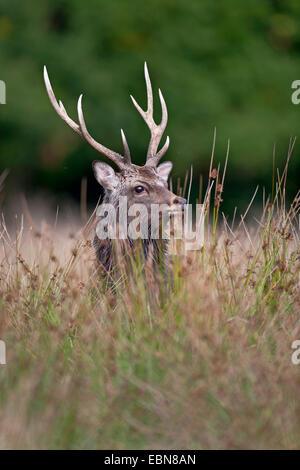 Japanische Sika Rotwild (Cervus Nippon Nippon), Hirsch stehend auf dem Rasen, Dänemark - Stockfoto