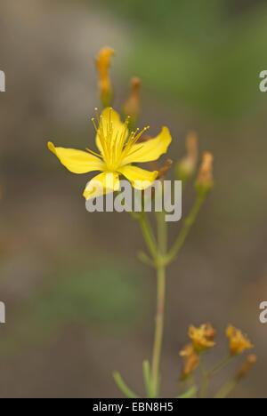 Whorly St.-Johanniskraut (Hypericum Coris), blühen - Stockfoto