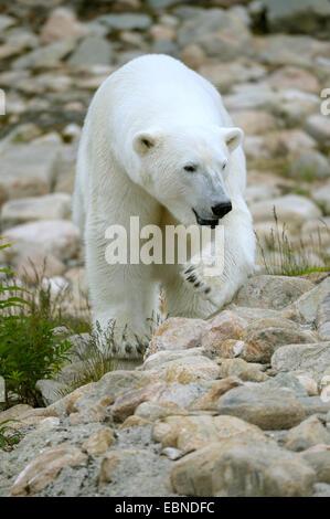 Eisbär (Ursus Maritimus), erwachsenes Weibchen - Stockfoto