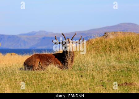 Rothirsch (Cervus Elaphus), brüllenden Hirsch, Großbritannien, Schottland, Isle of Rum, Kilmory - Stockfoto