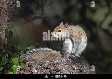 Östliche graue Eichhörnchen Grauhörnchen (Sciurus Carolinensis), sitzt auf einem Stein, USA, Florida - Stockfoto