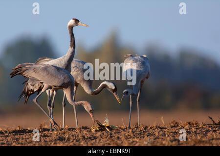 Kranich, eurasische Kranich (Grus Grus), stehend auf einem abgeernteten Feld und auf der Suche nach Essen, Deutschland, - Stockfoto