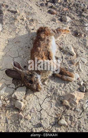 Der k rper eines toten hasen auf der stra e liegen for Boden liegen