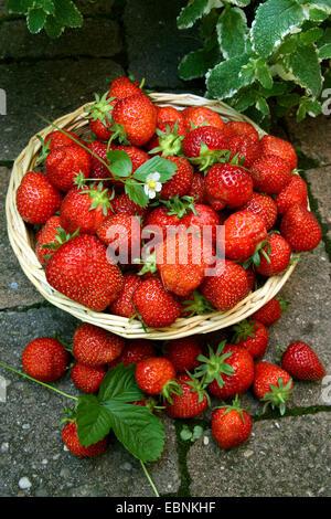 hybrid erdbeere garten erdbeere fragaria x ananassa fragaria ananassa frisch gepfl ckt. Black Bedroom Furniture Sets. Home Design Ideas