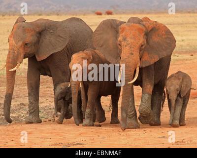 Afrikanischer Elefant (Loxodonta Africana), Herde von Elefanten, Kenia, Tsavo East National Park - Stockfoto