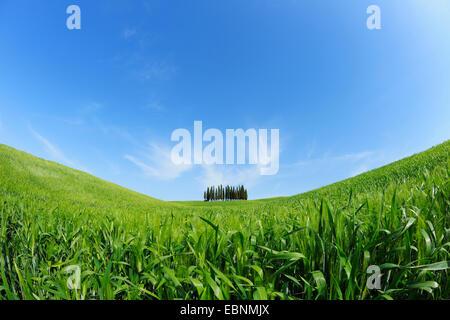 Italienische Zypresse (Cupressus Sempervirens), Grove in ein weites Feld Landschaft, Italien, Toskana, Val d' Orcia, - Stockfoto