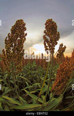 Besen-Mais, Broomcorn (Sorghum bicolor), Reife Pflanzen auf dem Feld, Deutschland, Baden-Württemberg, Ortenau - Stockfoto