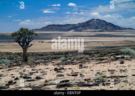 Köcherbaum (Aloe Dichotoma), felsige Landschaft in der Namib-Wüste, Namibia, Namib Naukluft National Park, Kokerboom, - Stockfoto