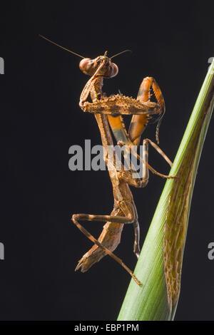 Budwing Mantis (Parasphendale Agrionina), Pflege - Stockfoto