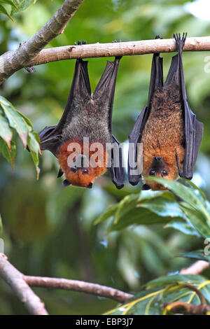Seychellen-Flughund, Seychellen-Flughund (Pteropus Seychellensis), koppeln hängen in einem Baum, Seychellen, Mahe - Stockfoto