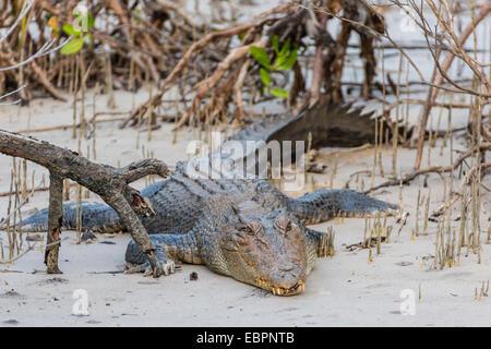 Einen Erwachsenen wilden Salzwasser-Krokodil (Crocodylus Porosus), Hinweis die fehlenden links Vorderbein, King - Stockfoto