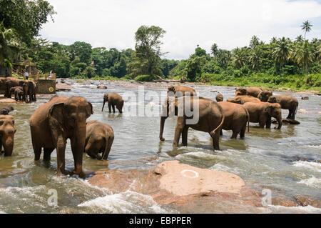 Elefanten Baden im Fluss bei Pinnewala Elephant Orphanage, Sri Lanka, Asien - Stockfoto