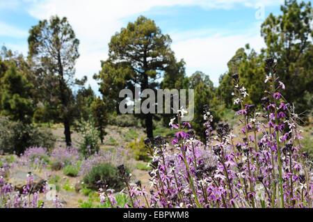Wallfower - Alheli del Teide (Wegrauke Scoparium). typische Blume wachsenden im Nationalpark el Teide (Teneriffa) - Stockfoto