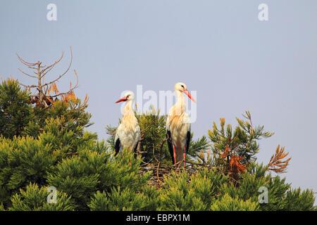 Weißstorch (Ciconia Ciconia), paar in einem Nest auf einem Mammutbaum, Deutschland - Stockfoto