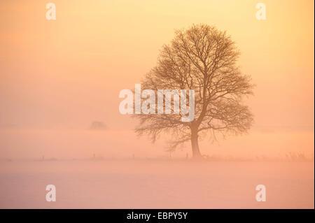 Baum im Nebel bei Sonnenuntergang, Deutschland, Niedersachsen, Oldenburger Muensterland - Stockfoto