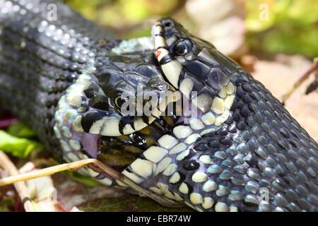 Ringelnatter (Natrix Natrix), Serie Bild 17, zwei Schlangen kämpfen für einen Frosch, Deutschland, Mecklenburg-Vorpommern - Stockfoto