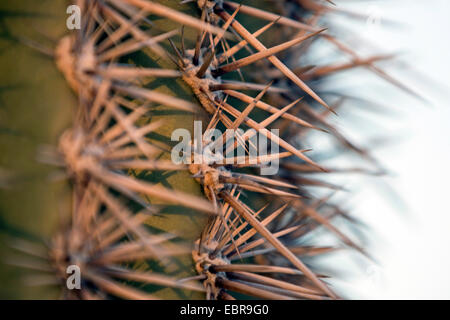 Saguaro-Kaktus (Carnegiea Gigantea, Cereus Giganteus), Stacheln, USA, Arizona - Stockfoto