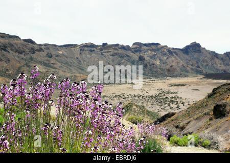 Mauerblümchen im del Teide National Park auf der baumlosen Caldera wächst - Stockfoto