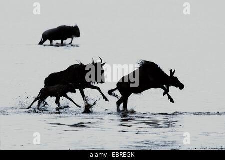 blaue Gnus, gestromt Gnu, weißen bärtigen Gnus (Connochaetes Taurinus), Gnus, die Überquerung der Lake Ndutu in - Stockfoto