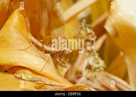 Gottesanbeterinnen (Mantodea, Mantoptera), lauernden Nymphe der betenden Mantis mit perfekter Tarnung, Lykien, Dalyan, - Stockfoto