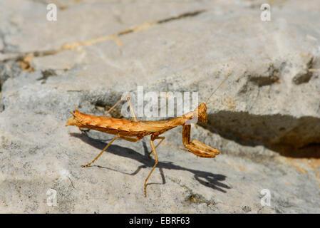 Gottesanbeterinnen (Mantodea, Mantoptera), lauernden Nymphe der ein betender Mantis, Lykien, Dalyan, Mugla, Türkei - Stockfoto