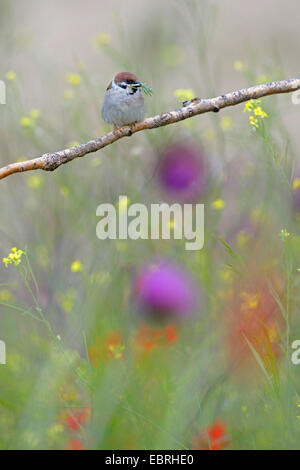 Eurasische Baum-Spatz (Passer Montanus), sitzt auf einem Ast in einer Blumenwiese mit Nistmaterial in der Rechnung, - Stockfoto