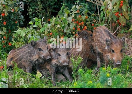Wildschwein, Schwein, Wildschwein (Sus Scrofa), hatte zusammenstehen im Garten, Deutschland, Baden-Württemberg - Stockfoto