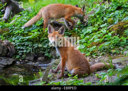 Rotfuchs (Vulpes Vulpes), zwei juvenile Füchse an einem Wald Teich, Schweiz, Sankt Gallen - Stockfoto