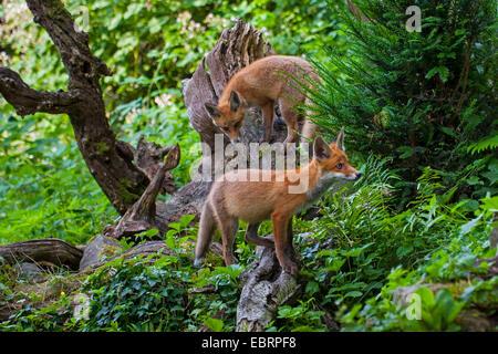 Rotfuchs (Vulpes Vulpes), zwei juvenile Füchse gehen Pirsch in den frühen Morgenstunden, Schweiz, Sankt Gallen - Stockfoto