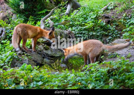 Rotfuchs (Vulpes Vulpes), zwei juvenile Füchse gehen Pirsch in den frühen Morgenstunden an einem Wald Teich, Schweiz, - Stockfoto