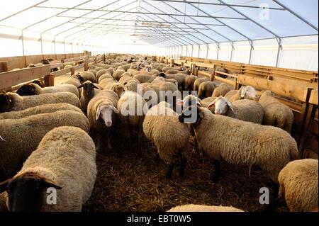 Hausschaf (Ovis Ammon F. Aries), unshorn Schafe im Stall, Deutschland - Stockfoto