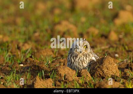 Sumpfohreule (Asio Flammeus), sitzt auf einem Feld, Deutschland, Rheinland-Pfalz - Stockfoto