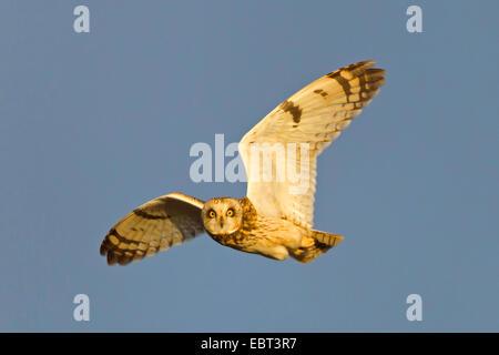 Sumpfohreule (Asio Flammeus), fliegen, Deutschland, Rheinland-Pfalz - Stockfoto