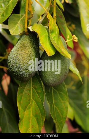 avocado frucht persea americana auf einem gelben tisch. Black Bedroom Furniture Sets. Home Design Ideas