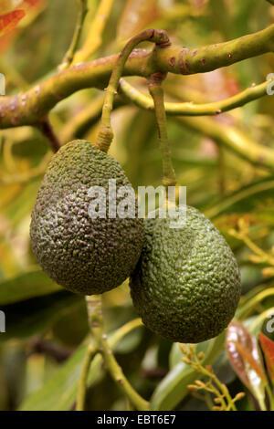 avocado frucht persea americana auf einem gelben tisch in guatemala stockfoto bild 30448166. Black Bedroom Furniture Sets. Home Design Ideas