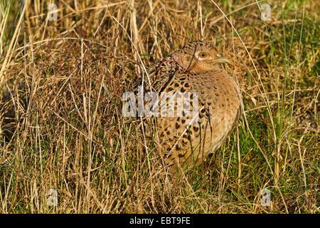 gemeinsamen Fasan, Kaukasus Fasane, kaukasische Fasan (Phasianus Colchicus), Henne sitzen im Rasen gut getarnt, Niederlande, Texel